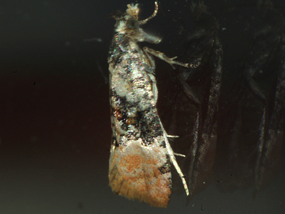 Tortricid Moth - Thyraylia nana