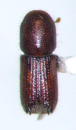 bark beetle - Orthotomicus caelatus - male