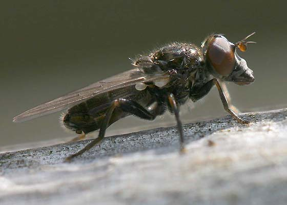 Syrphid Fly - Cynorhinella longinasus - male