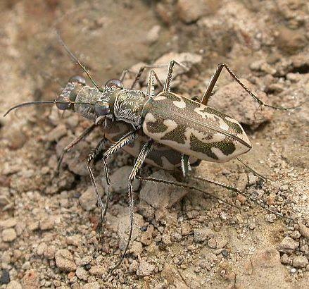 Ellipsoptera cuprascens - male - female