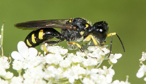 Square-headed Wasp - Ectemnius maculosus