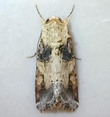Spodoptera latifascia