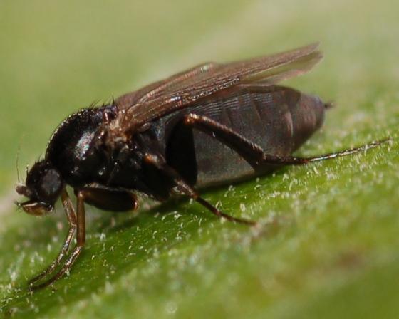 Scuttle fly? - Diplonevra nitidula - female