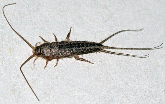 Silverfish - Ctenolepisma lineata