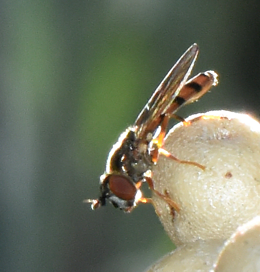 long russet banded fly - Platycheirus