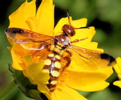 Crioscolia flammicoma ? - Colpa octomaculata - female