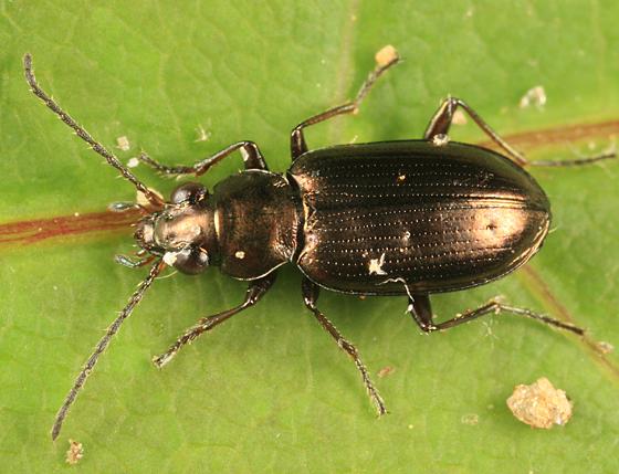 carabid - Bembidion americanum