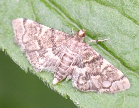 Moth - Anageshna primordialis