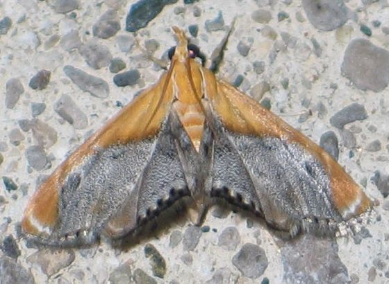Sooty-winged Chalcoela - top - Chalcoela iphitalis