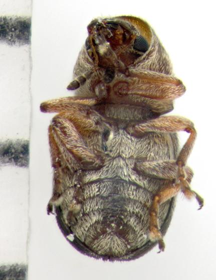 Anthribidae, ventral - Trigonorhinus rotundatus