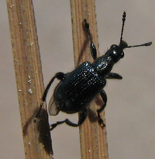 Tooth-nosed Snout Weevil in California - Deporaus glastinus