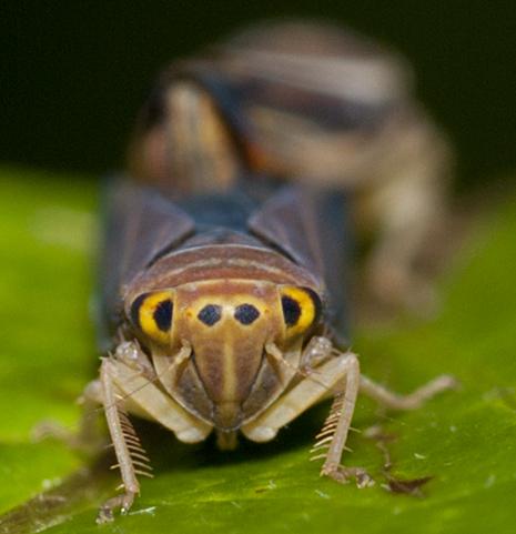 Leafhoppers mating - Idiodonus kennicotti - male - female