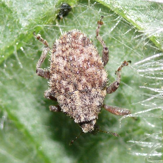 Weevil 2 - Trichosirocalus horridus