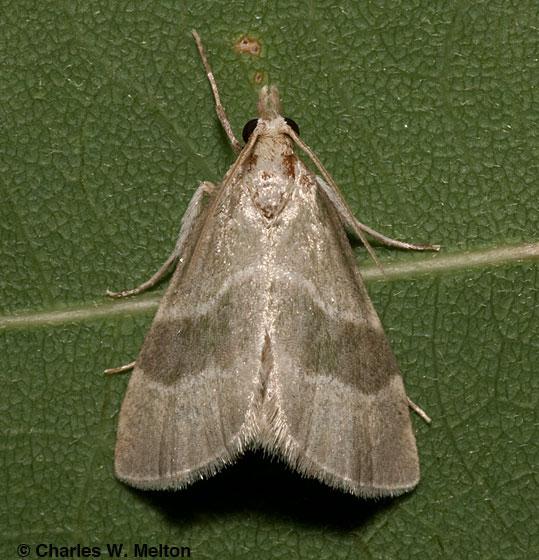 Anemosella viridalis 5549? - Anemosella viridalis