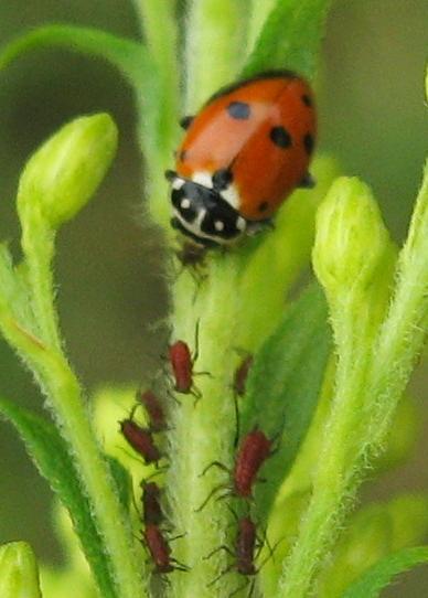 Hippodamia variegata? - Hippodamia variegata