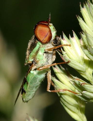 Soldier Fly - Odontomyia cincta - male