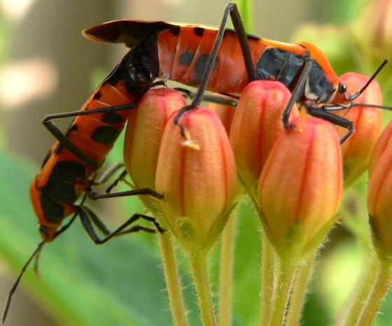 Large Milkweed Bug - Oncopeltus fasciatus - male - female