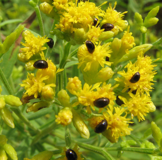 Cluster of small beetles on flower heads - Olibrus