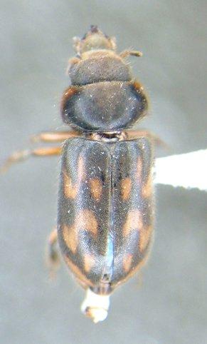 Heterocerus - Heterocerus mollinus - male