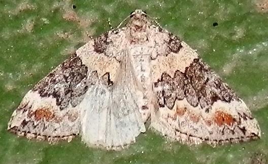 Possible Dysstroma moth - Dysstroma brunneata