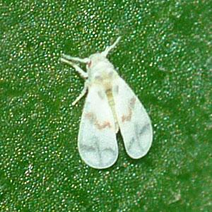 Whitefly? - Tetraleurodes mori