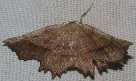 Effective Euchlaena - Hodges#6728 - Euchlaena effecta - female