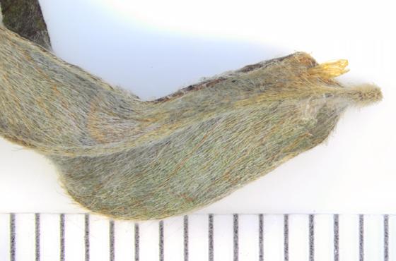 Porphyrosela desmodiella, leaf & spent pupal case - Porphyrosela desmodiella