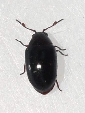 beetle - Calymmaderus nitidus