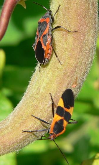 Small + Large Milkweed Bugs - Lygaeus kalmii