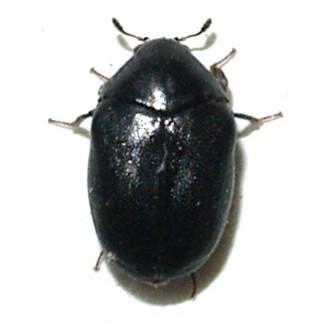 Beetle - Orphilus subnitidus