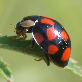Red on Black lady beetle - Harmonia axyridis