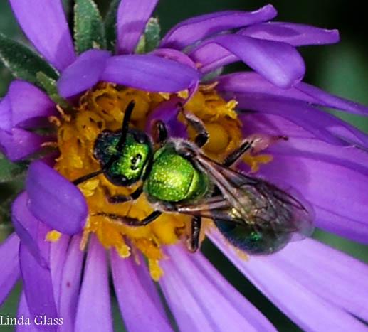 little green bee - Augochlora pura