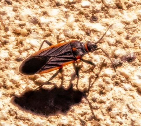 Unknown Beetle - Melacoryphus lateralis