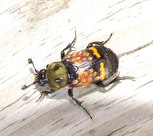 Beetle ? - Nicrophorus tomentosus