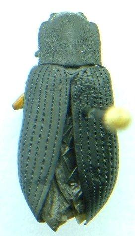 Teneb - Haplandrus fulvipes