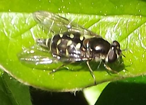 Syrphid ID - Dasysyrphus intrudens