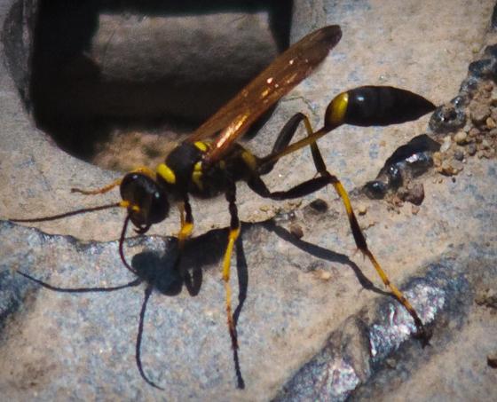 San Diego Wasp - Sceliphron caementarium