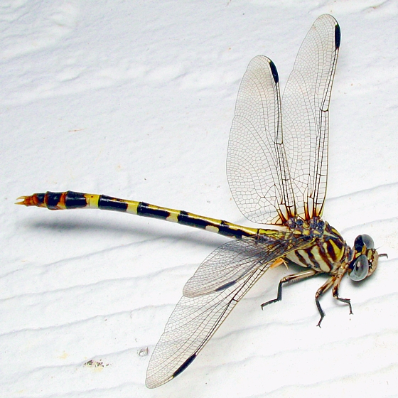 Four-striped Leaftail - Phyllogomphoides stigmatus - Phyllogomphoides stigmatus - female
