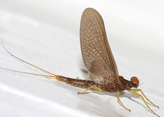 Mayfly - Eurylophella prudentalis - male