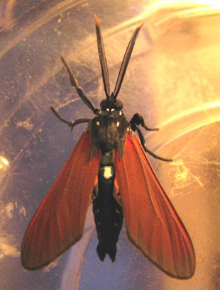 Spotted Oleander moth - Empyreuma pugione