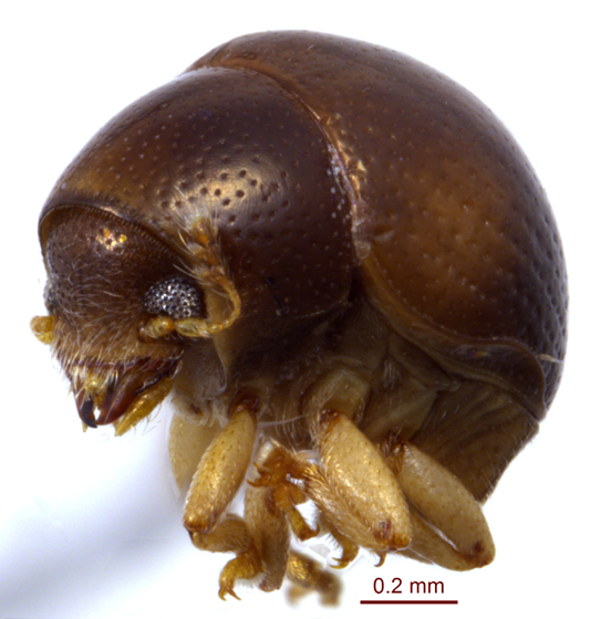 Anthribidae 4