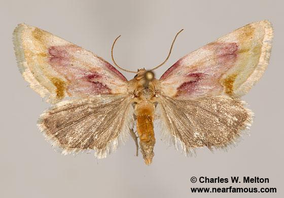 Chamaeclea pernana