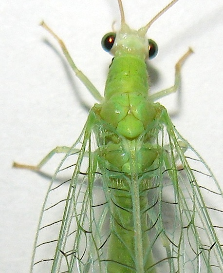 Green Lacewing - Chrysopa nigricornis