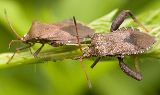 Helmeted Squash Bugs with parasites - Euthochtha galeator