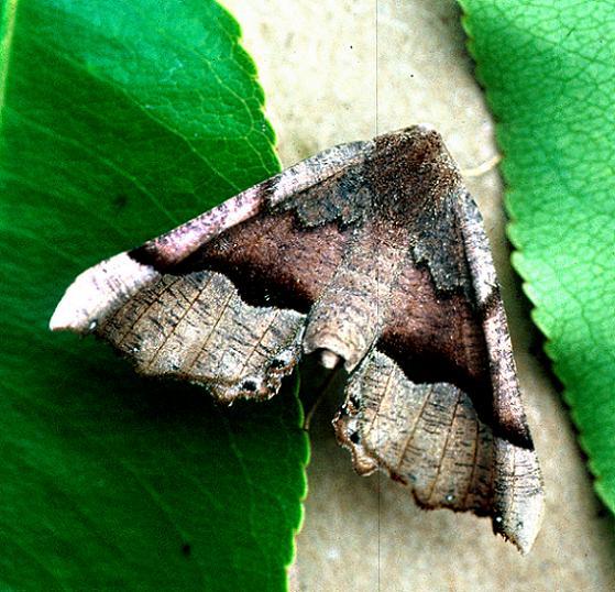 Honest Pero Moth - Pero honestaria - female