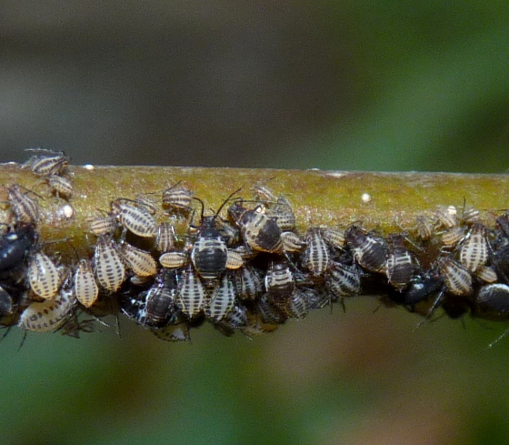 Aphids - Myzocallis