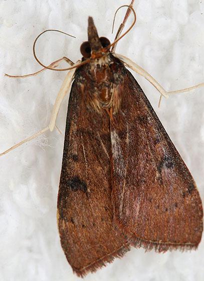 Big white legs! - Uresiphita reversalis