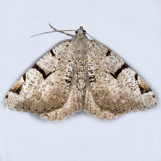 Split-Lined Speranza - Hodges#6304 - Macaria bitactata