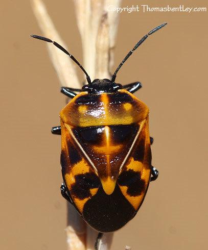 Stink Bug - Murgantia histrionica