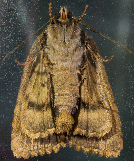 Copper Underwing Moth - Amphipyra pyramidoides